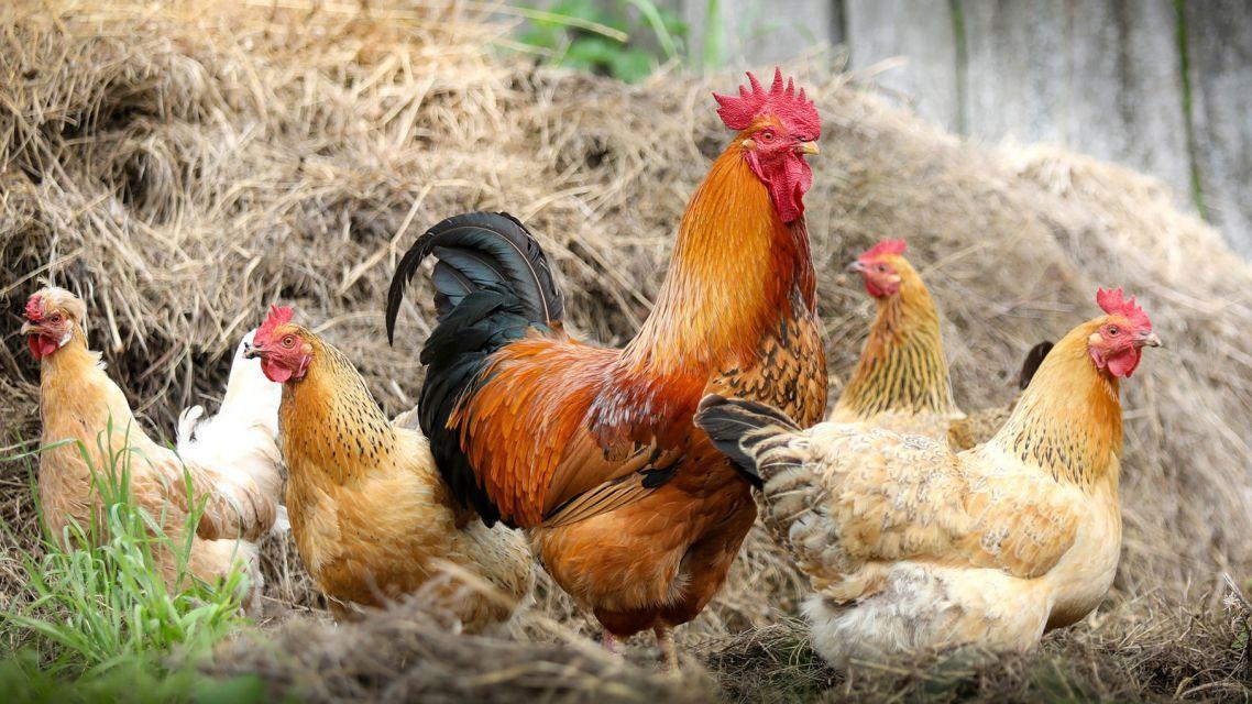 Zrušenie veterinárnych opatrení   – vtáčia chrípka.
