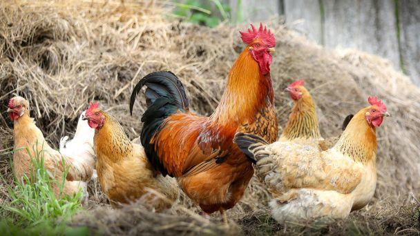 OZNAM - Vtáčia chrípka - súpis všetkého vtáctva a hydiny